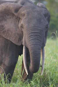 african-elephant-green-heart-films
